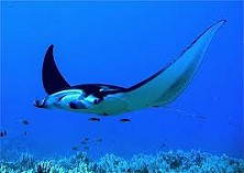 Manta rays drop by every so often