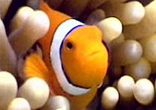 Meet Nemo, our resident clown fish