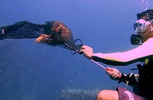 Scuba diver bagging one of the crown-of-thorns starfish that plague Tioman's reefs