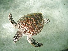Juvenile turtle on its way to life in the ocean